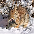 Rabbit shopes papilloma virus 3.jpg