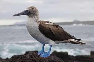 A Blue-footed Booby on Santa Cruz, Galapagos I...