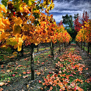 English: Vineyard in Napa Valley