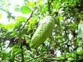 Citrus australasica green fruit1.JPG