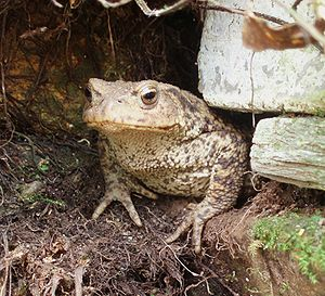 A close up of a common toad