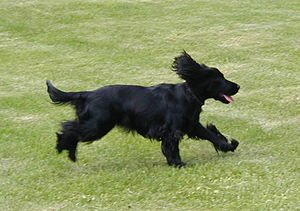 English Cocker Spaniel 9 May 2004 B