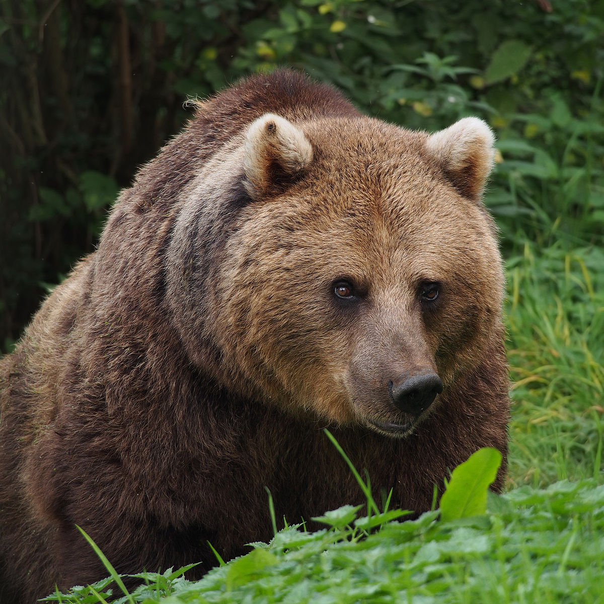 Eurasian Brown Bear  Wikipedia