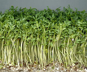 English: Garden cress. Latina: Lepidium sativu...