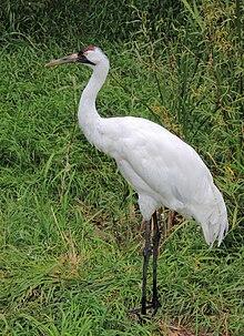 whooping crane wikipedia