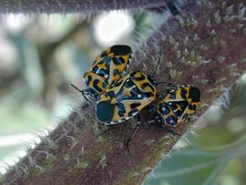 Harlequin cabbage bugs