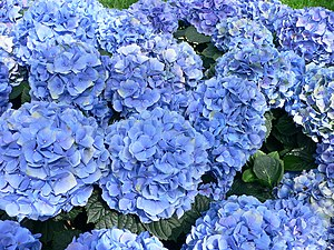 English: Hydrangea macrophylla - Hortensia hyd...