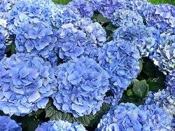 English: Hydrangea macrophylla - Hortensia hyd...