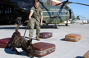English: A Military Working Dog practices sear...