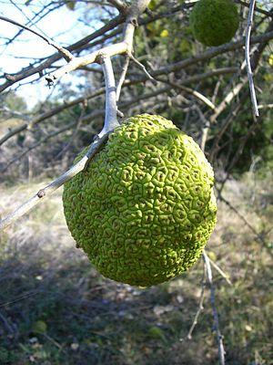English: Bois'd Arc (Osage Orange) fruit