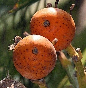 English: Supari Palm or Betelnut Areca catechu...