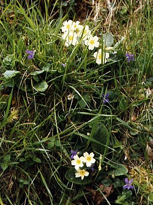 English: Spring flowers, Hebden Primroses and ...