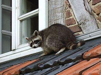 Ein Waschbär am frühen Morgen auf dem Dach ein...