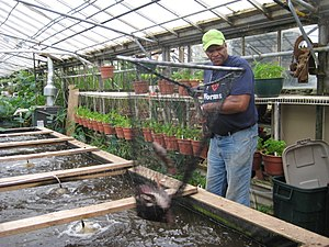 English: Will Allen nets a Tilapia at the urba...