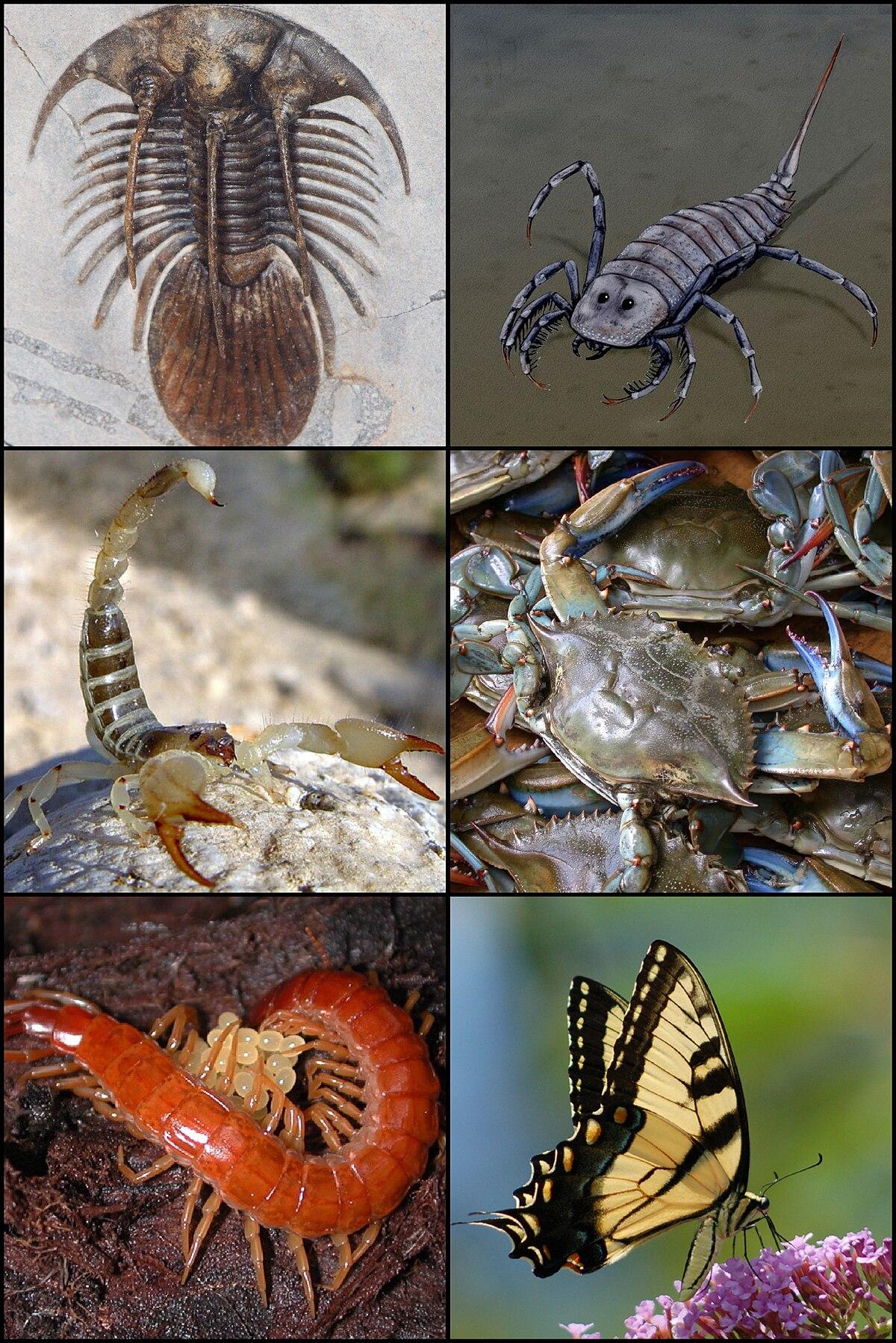 Arthropoda - Wikispecies