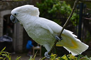 White cockatoo  Wikipedia