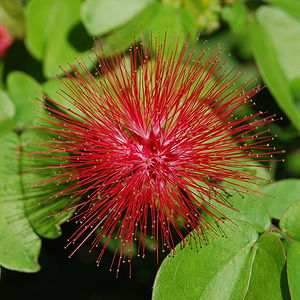English: Calliandra emarginata in Key West, Fl...