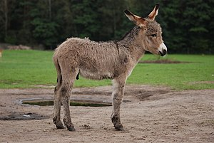 English: Three weeks old Equus asinus in Kadzi...