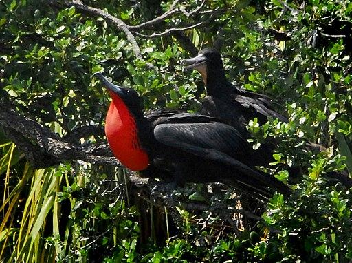 Magnificent Frigate Birds ( Fregata magnificens ) - Flickr - Andrea Westmoreland (2)