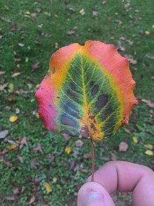 Autumn Leaf Color Wikipedia