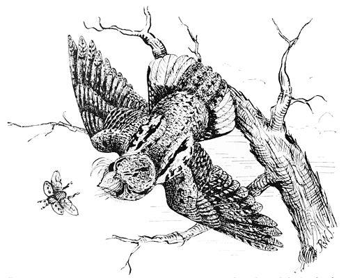 Popular Science Monthly/Volume 44/January 1894/Night Hawks