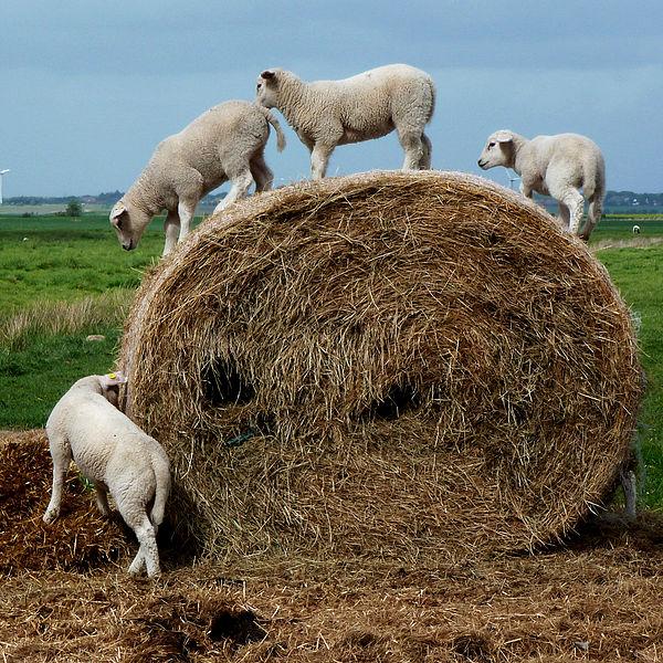 File:Playing Lambs 01.jpg