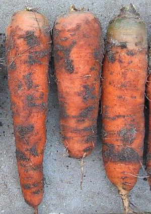 Nederlands: zelfgemaakte foto van winterwortelen