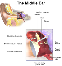 ear part diagram [ 1200 x 1200 Pixel ]