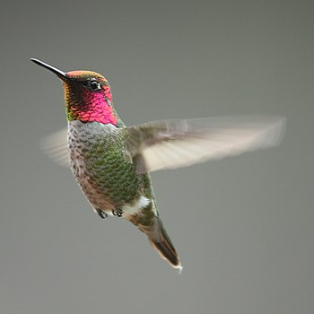 A male Anna's Hummingbird in San Luis Obispo, ...