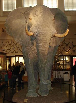 Elefant Naturhistoriska Museet Göteborg