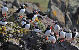 Puffins loafing around near the breeding burrows.