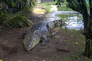 Picture of a rather large Crocodile, taken out...