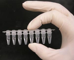Photo of a strip of PCR tubes, each tube conta...