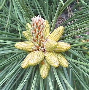 Pine cone crop bgiu