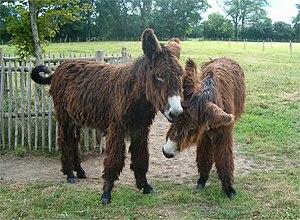 Poitou donkeys.