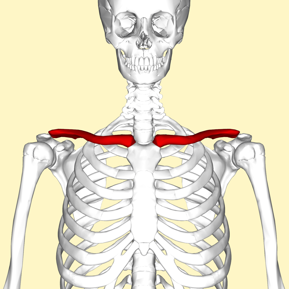 scapula diagram quiz kubota d1105 alternator wiring clavicle wikipedia