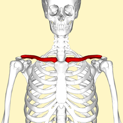 blank scapula bone diagram software testing life cycle clavicle wikipedia