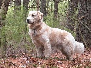 A male Golden Retriever named Tucker.