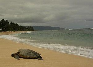 Green Sea Turtle - Honu(Chelonia mydas) O'ahu