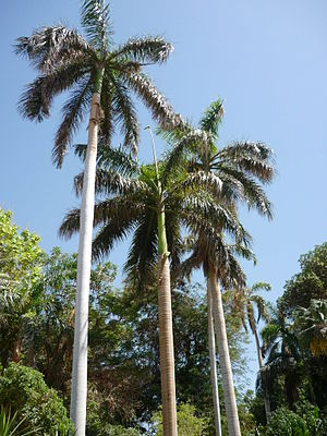 English: Palm trees in Kitchener Island botani...
