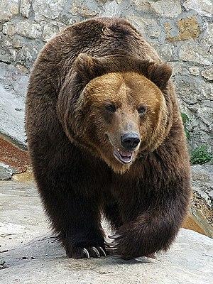 ru: Бурый медведь (Московский зоопарк) en: Bro...