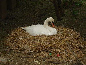 English: Swan nesting at Tewkesbury Next to th...
