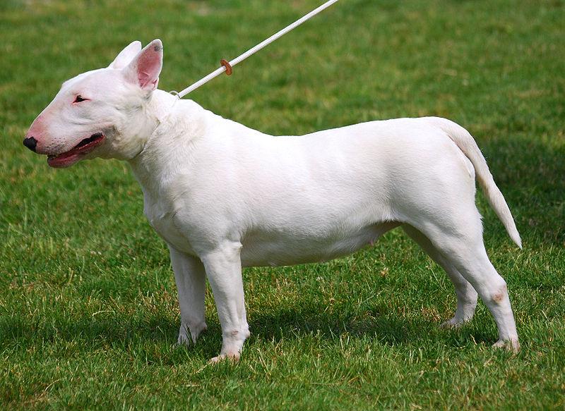 Bull Terrier R 01
