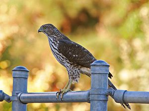 Juvenile Cooper's Hawk (Accipiter cooperii) ta...