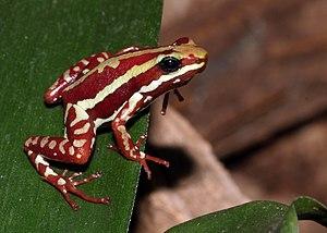English: Phantasmal Poison Frog, Epipedobates ...