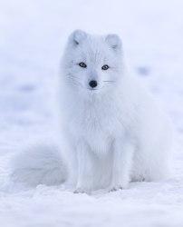 Arctic fox Wikipedia