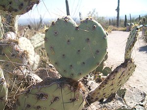 English: A photo of an a prickly pear cactus, ...
