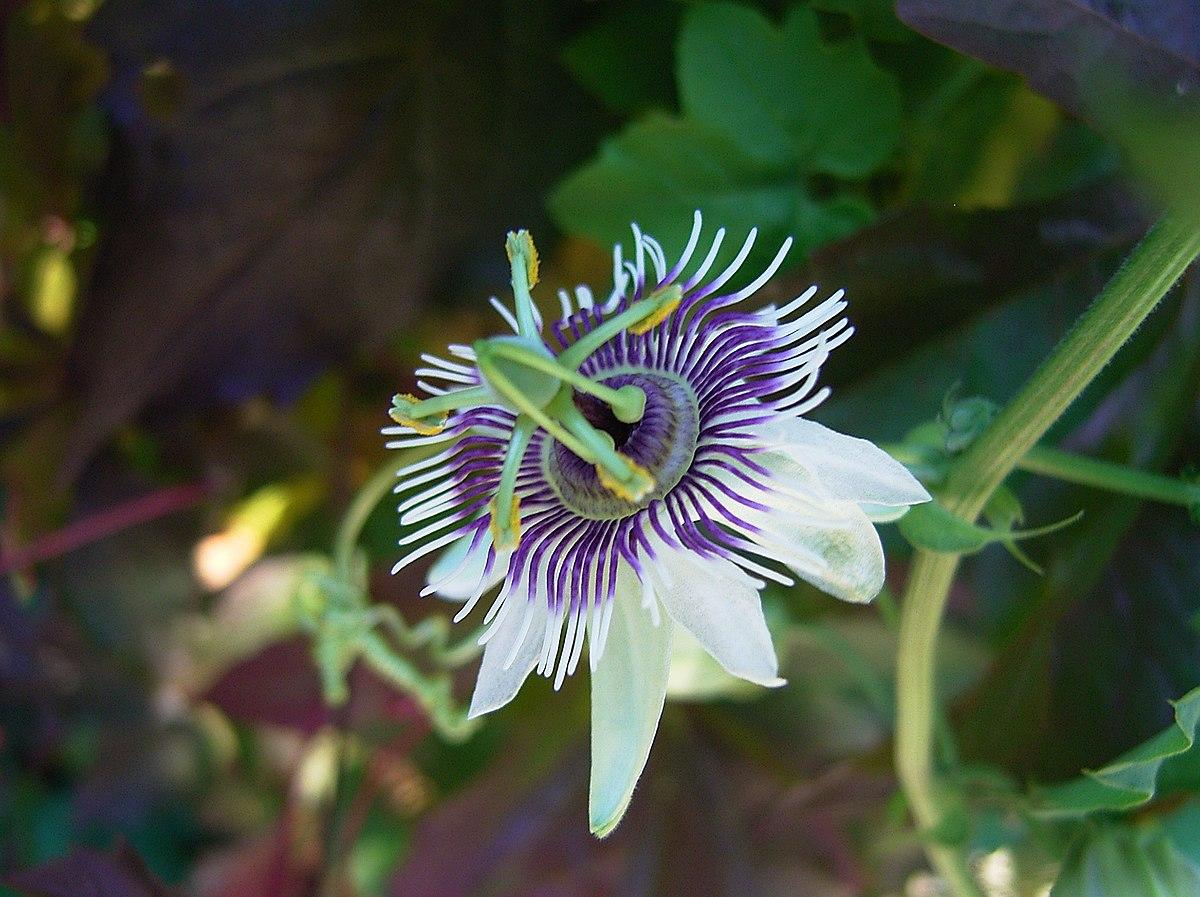 Passiflora morifolia  Wikipedia