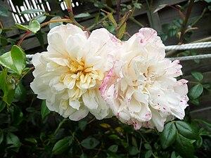 A Rambling Rose growing in a garden in London....
