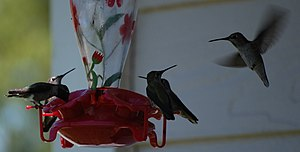 English: Hummingbirds feeding